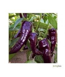 "Peberfrugt frø ""Marconi Purple"""