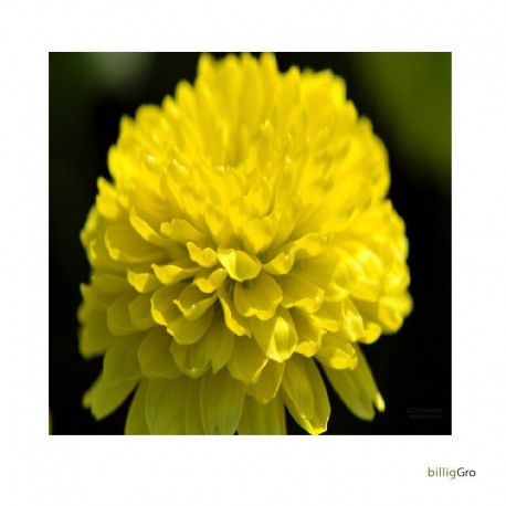 krysantemum gul