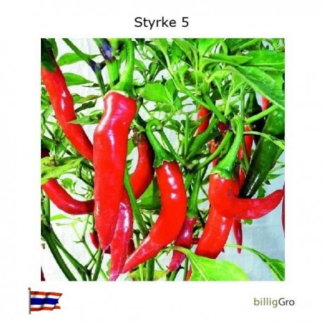 Bid Of Thailand styrke 5