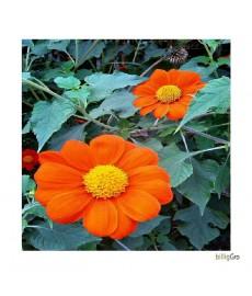 orange / gul Middagsblomst - Mexicanske Solsikke