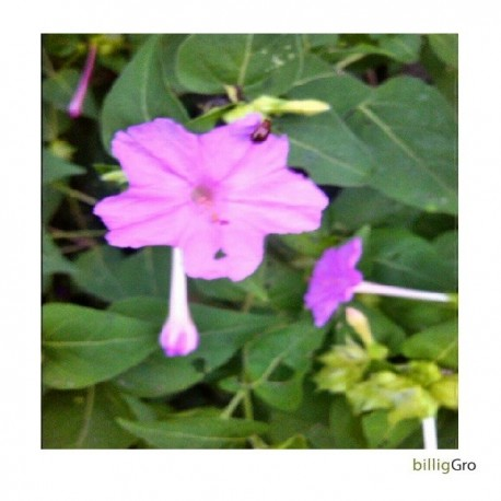 Mirabilis jalapa lila