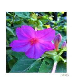 Mirabilis jalapa mørk lilla