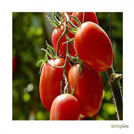 """Rio Grande"" Lille blommetomat frø tomatfrø"