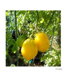 """Lemon Plum"" (Almindelig tomat)"