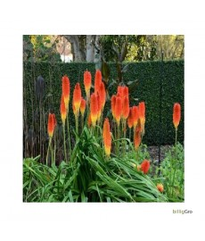 """Red Hot Poker"" (Torch lilje)"