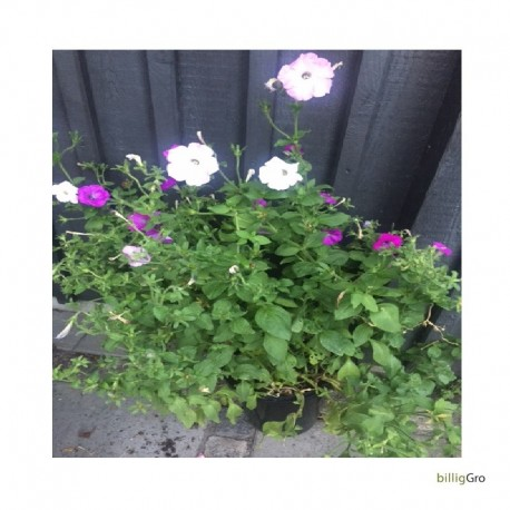 petunia lilla mix