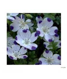 "Øjeblomst ""Five spot""  Nemophila maculata"