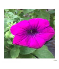 "Petunia pink ""Rose Of Heaven"""