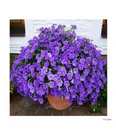 Petunia lys  lilla