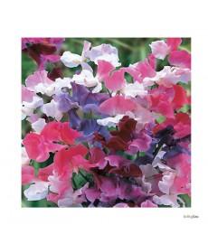 Ærte blomst marmo mix