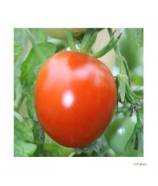 """Milano Tomato"" aldmindlig tomat størelse"