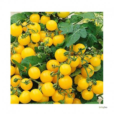 Royal tomat gul