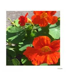 orenge snale sommerblomst blomst