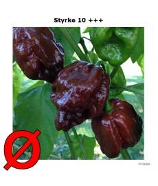 Scorpion Chokolade chili frø økologisk