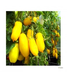 """""""Banana Legs"""" (Blomme tomatfrø)"""