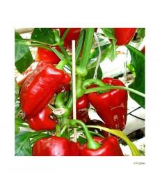 "Peberfrugt frø ""Red Mini Snak"""