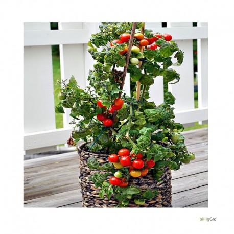 Tiny Tim tomatfrø