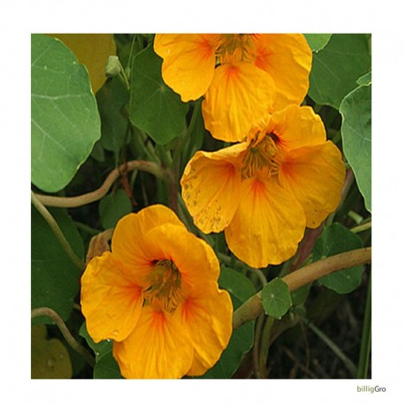 gul snale sommerblomst blomstfrø