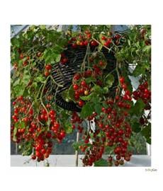 """Hængetomat """"Romelle"""" Rød blomme tomat"""