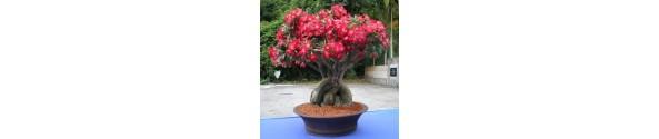Ørkenrose (Adenium obesum)