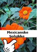 Mexicanske solsikke
